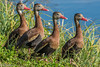 Black-bellied Whistling Ducks at Venice Rookery -1-3-2