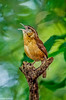 Carolina Wren at Corkscrew-3