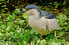 Black-crowned Night Heron at Corkscrew 3-2102 #6-2