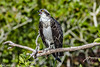 Osprey at Bailey Tract 5-24-18-14-4