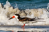 Black Skimmers at Lido 6-11-18-28-2