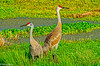 Sandhill Crane pair at Ballantrae 3-2012 #5-2