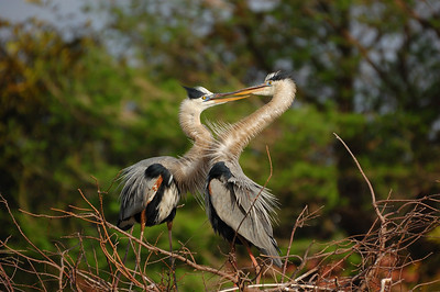 Great Blue Herons, Wakodahatchee Wetlands.
