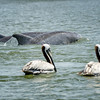 Brown Pelicans and Bottlenose Dolphin in Shem Creek