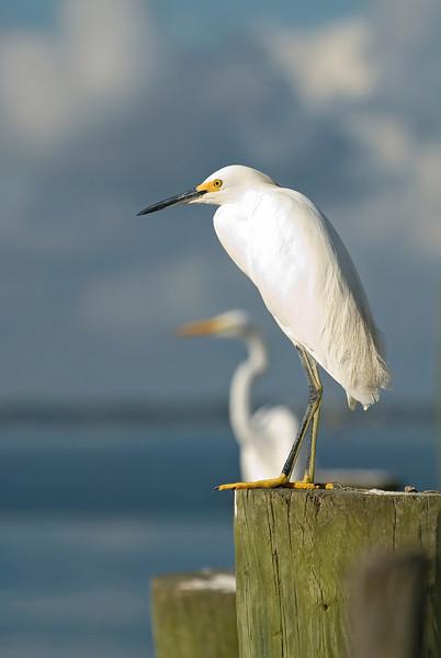 Snowy Egret on watch