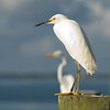 Snowy Egret on watch