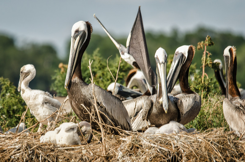 Pelican Roost with chicks