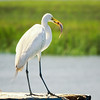 Great Egret with eel