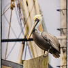 Brown Pelican on shrimp fleet dock