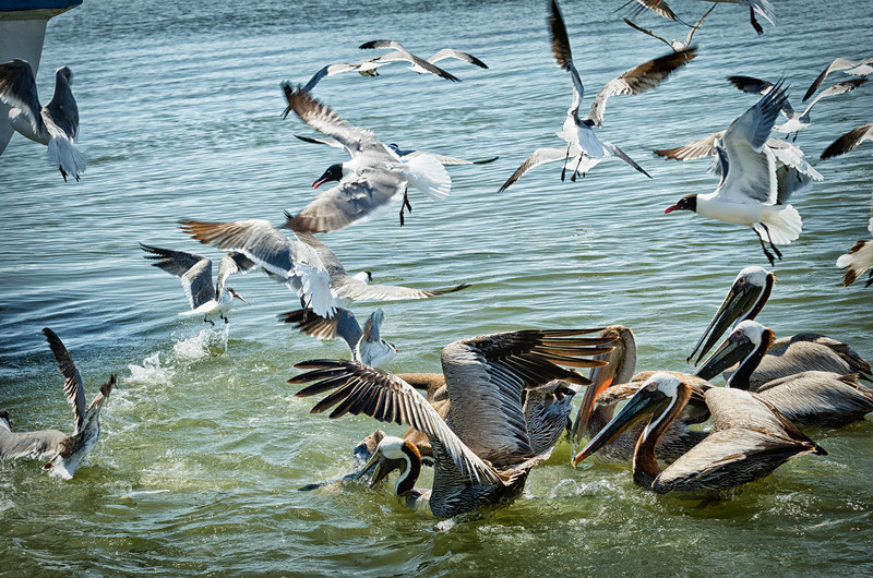Pelicans, Terns, Seagulls fight over shrimp boat's fishy snacks