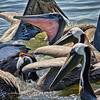 Pelicans feeding in creek, Beaufort, SC