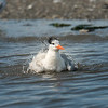 Bath time for this Tern