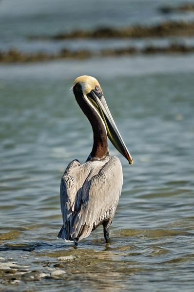 Brown Pelican in Port Royal Sound, SC