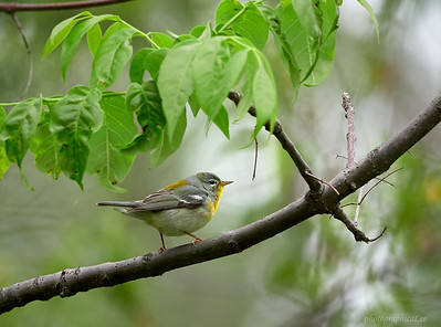 Northern Parula, female