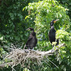 Cormorant mother and chick
