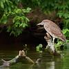 Black Crowned Night Heron, immature