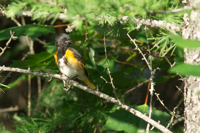 Bouctouche, NB birds 2011