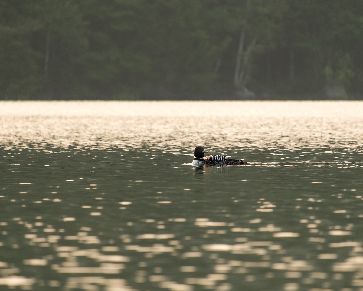 Loon at Sunset #2