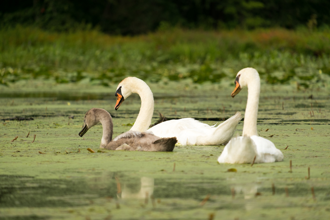 A family of Mute Swans