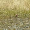 common european redpoll