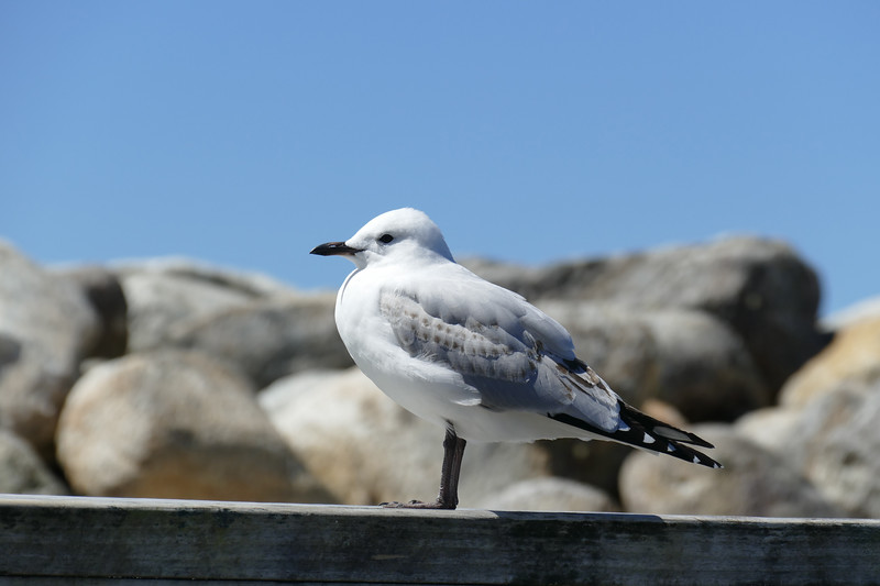black billed gull