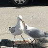 blck-billed gulls