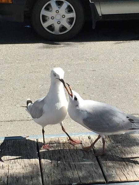 blck-billed gulls