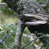 grey wrbler