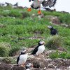 Atlantic Puffin landing