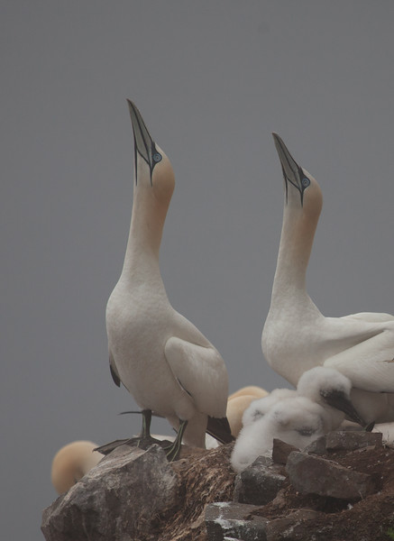 Northern Gannets and Chick