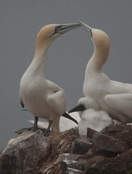 Northern Gannets - clicking their beaks to assure the correct mate.