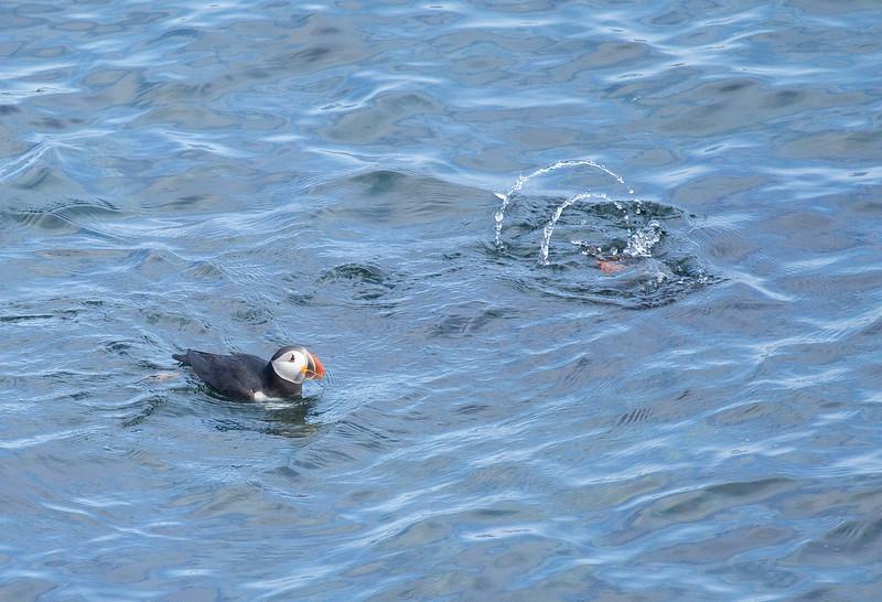 Atlantic Puffins diving for fish