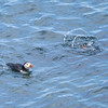Atlantic Puffins diving for fish