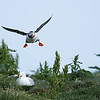 Atlantic Puffin in for a Landing