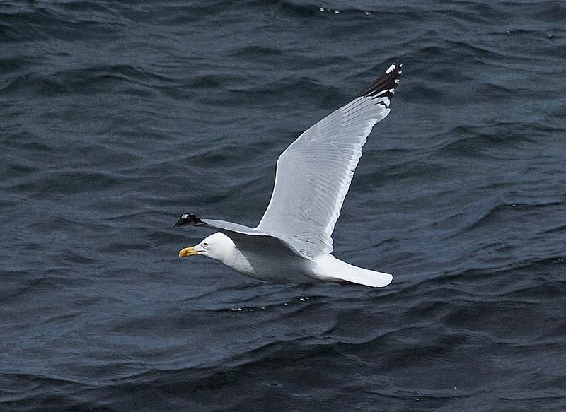 Herring Gull near Twillingate, Newfoundland