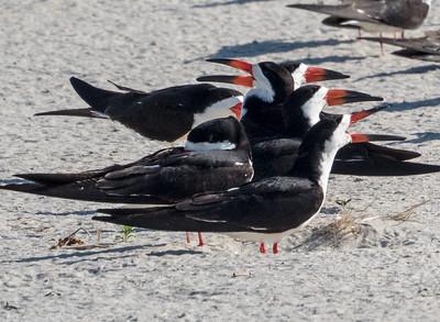 Birds of Nickerson Beach - June 2015