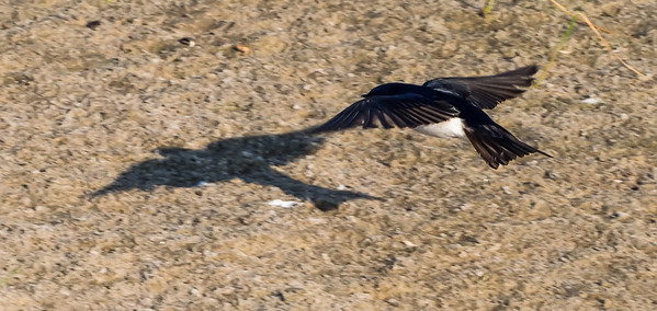 Birds of Nickerson Beach and Marine Study Area - June 2013
