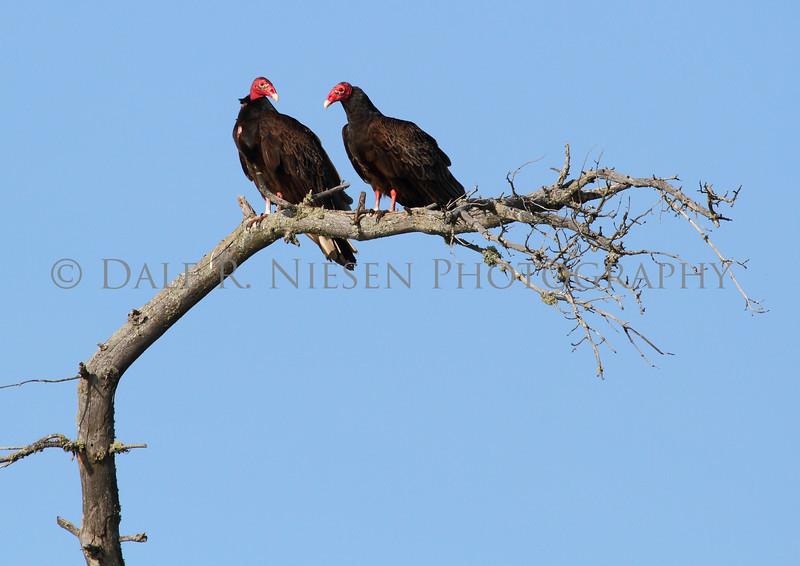 Turkey Vultures aka turkey buzzards