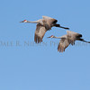 Sandhill Cranes in flight near Grass Lake, Michigan