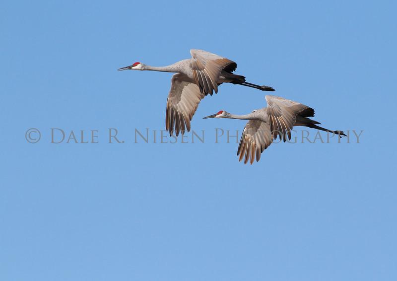 Sandhill Cranes in flight near Grass Lake, Michigan