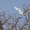 Great Egret lands at the rookery Kensington Metro Park, Milford, Michigan.