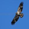 Juvenile Bald Eagle over the Detroit River at Lake Erie Metro Park, Brownstown Township, Michigan