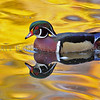 Wood Duck and Autumn color reflections (Ohio)