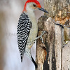 Red-Bellied Woodpecker (male)
