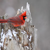 Northern Cardinal on a snow covered stump.