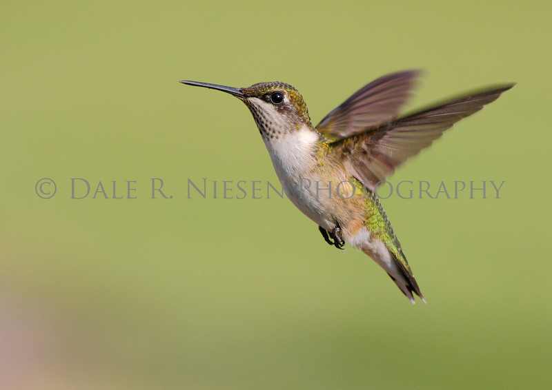 Juvenile male ruby-throated hummingbird in flight.