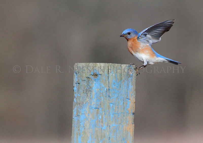 Eastern Bluebird at the moment of landing.