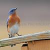 Eastern Bluebird, Michigan