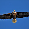 Bald Eagle soaring over the Mississippi River in Iowa.