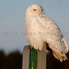 Snowy Owl taken near Muskegon, Michigan